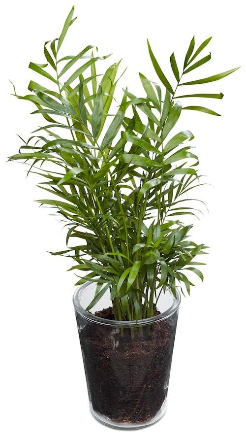 FreshFlowers Charmadorea og glasspotte 20-40 cm høy. 12 cm potte, 1 stk