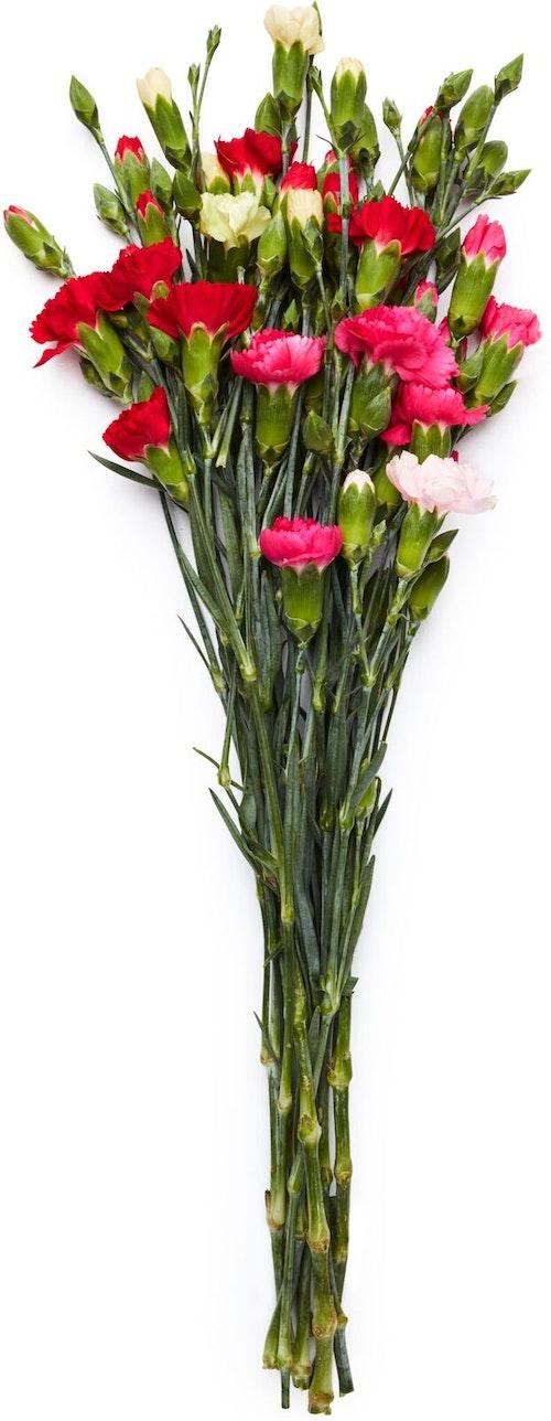 FreshFlowers Grennellik i forskjellige farger Ca 30 blomster og 8 stilker