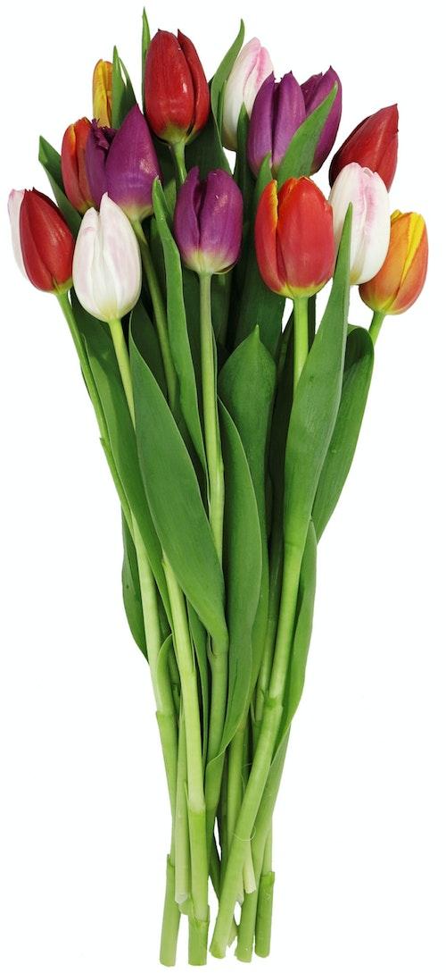 FreshFlowers Tulipaner Mix 15 stk