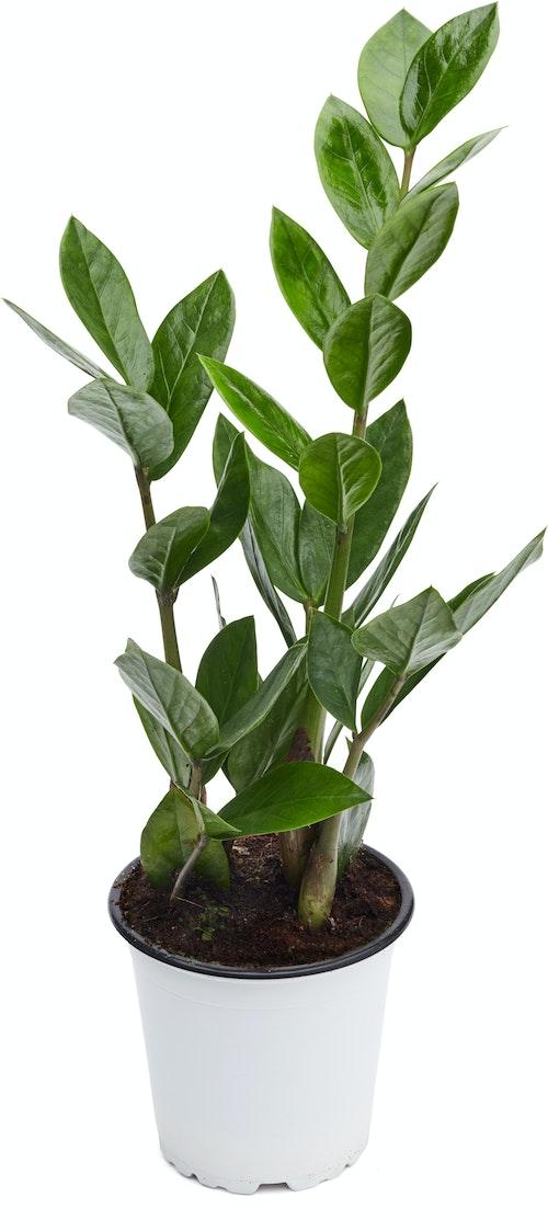 FreshFlowers Zamioculas 20-40 cm høy. 12 cm potte, 1 stk
