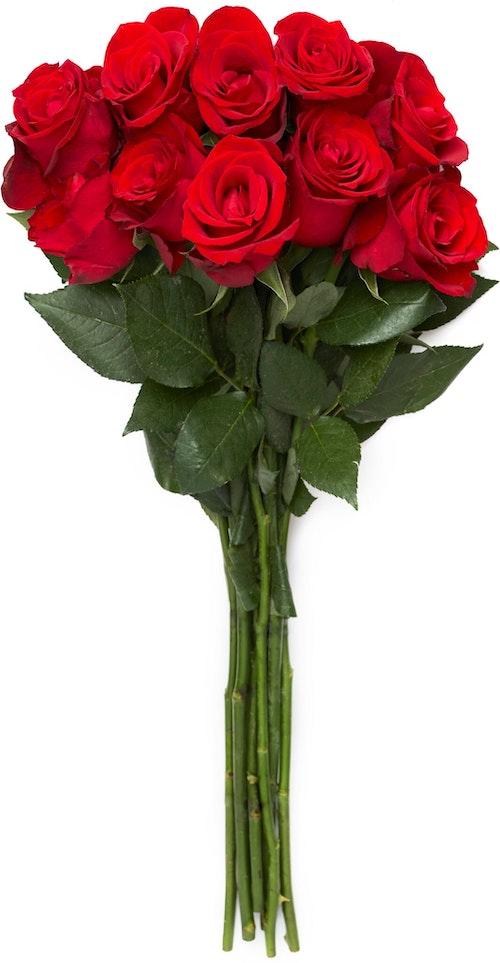 FreshFlowers Roser Rød 50 cm, 10 stk