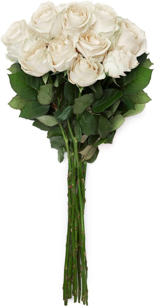 FreshFlowers Roser Hvit 50 cm, 10 stk