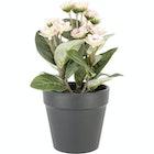 Naturtro miniplante med rosa blomst