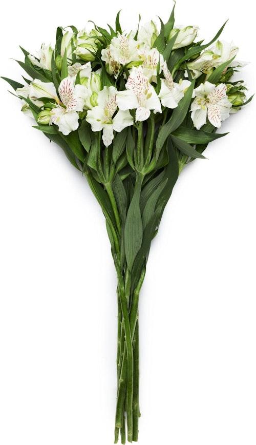 FreshFlowers Inkalilje Hvit 45 cm, 8 stk