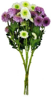 FreshFlowers Krysantemum Mix 45 cm, 6 stk