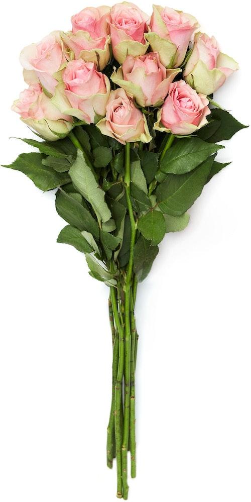 FreshFlowers Roser Belle Rose 50 cm, 10 stk