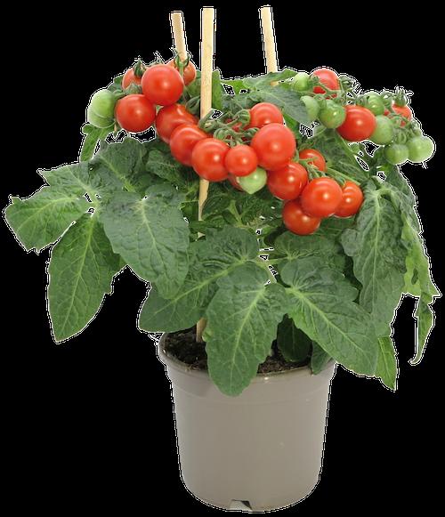 FreshFlowers Cherrytomatplante 45 cm, 1 stk