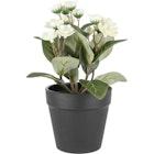 Naturtro miniplante med hvit blomst